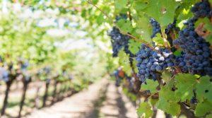 Autorizações de plantação de novas vinhas – candidaturas